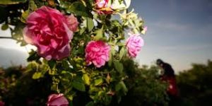 bulgarian rose for beauty